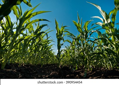 Agriculture concept. Corn and maize field