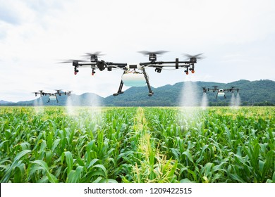 Agriculture drone fly to sprayed fertilizer on the sweet corn fields