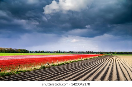 Agriculture farm tulip field landscape. Tulip field Holland. Tulip fields in Netehrlands. Tulip farm fields landscape