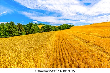 Agriculture farm wheat field landscape. Wheat field landscape. Wheat fields agricultural scene