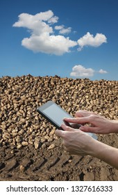Agriculture, farmer  or agronomist calculate heap of sugar beet after harvest using tablet