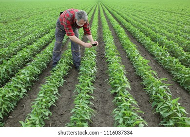 Agriculture, farmer or agronomist photographing soy bean plants in field, using mobile phone