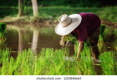 Agriculture farmer of Asia rice field worker concept. Asian farmer working on rice field outdoor in Agricultural town of Asia.Asian woman farmer labor working in the farm for rice planting.