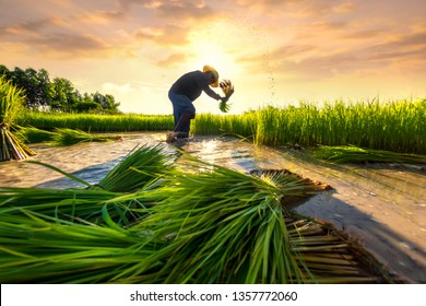 Agriculture farmer of Asia rice field work concept. Asian farmer working on rice field outdoor in Agricultural of Asia. Worker in rural work in farm with sunset background.