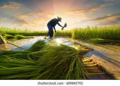 Agriculture farmer of Asia rice field worker concept.  Asian farmer working on rice field outdoor in Agricultural town of Asia.Worker in rural work in farm with sunset back ground