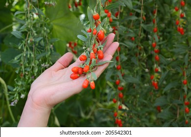 Agriculture, farmer holding goji berry fruit in hands, healthy eating