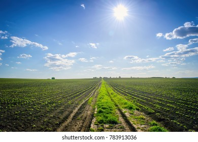 Agriculture field with crops