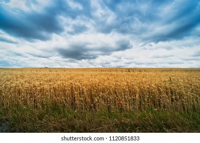 Agriculture Field With Dramatic Sky, landscape with cereal plant