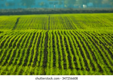 Agriculture field with green rows