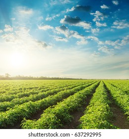 agriculture field with tomatoes and blue sky with clouds in sunset