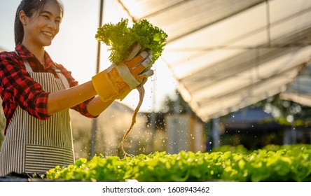 agriculture, gardener, farm, harvest, vegetable, technology concept. The gardener harvesting lettuce at vegetable growing house in morning.