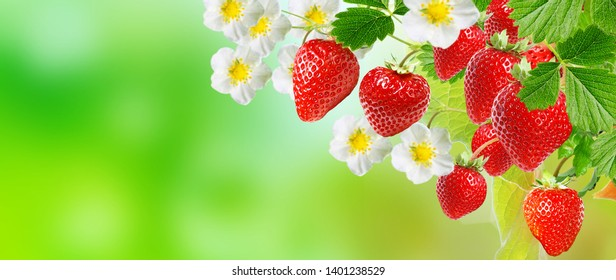 agriculture  gardening fresh strawberries business