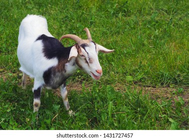 agriculture goat grass farming pasture domestic animal meadow