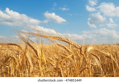 Agriculture: golden grain field and sky