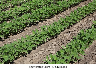 Agriculture, green cultivated soybean plants in field, late spring or early summer