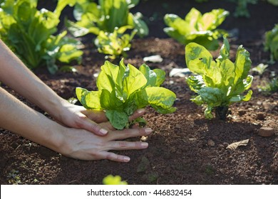 Agriculture. Growing plants. Plant seedling. Farmer´s hand holding young endive plants growing on fertile soil with natural green and brown background