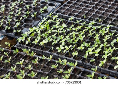 Agriculture. Growing plants. Plant seedling. Green salad growing from seed