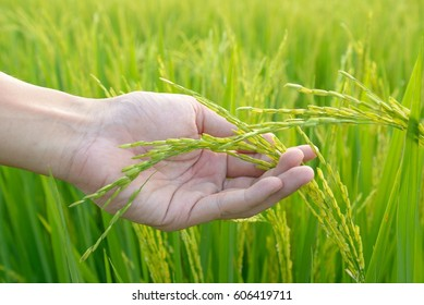 Agriculture. hand gently holding young rice with warm sunlight.