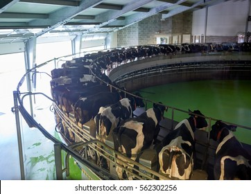 agriculture industry, farming and animal husbandry concept - process of milking cows at rotary parlour system on dairy farm