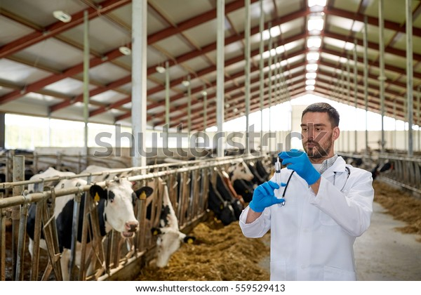 agriculture industry, farming, medicine, animal vaccination and people concept - veterinarian or doctor with syringe vaccinating cows in cowshed on dairy farm