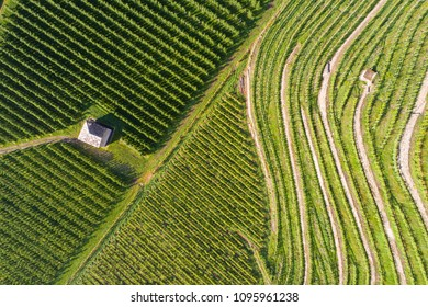 Agriculture in the Italian Alps, terracing with vineyards and orchards in Valtellina view from above