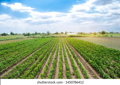 Agriculture land and farming. Plantation of young pepper on a farm on a sunny day. Growing organic vegetables. Eco-friendly products. Agro business. Ukraine, Kherson region. Selective focus - Shutterstock ID 1450786412