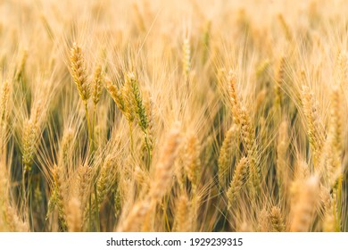 Agriculture landscape with ears of golden and young green wheat. Rural summer background scene under sunlight. Close up