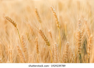Agriculture landscape with ears of golden and young green wheat Rural summer background scene under sunlight. Close up