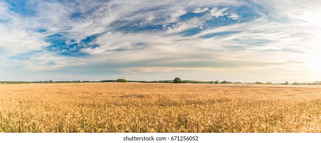 Agriculture landscape panorama wheat field and sunflower fields.
