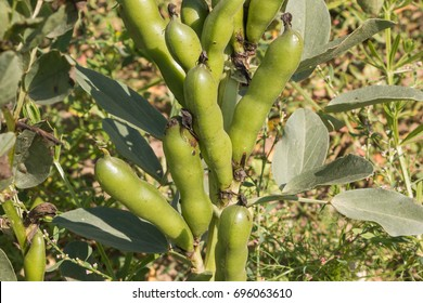 Agriculture of Latvia. Vicia faba, also known as the broad bean, fava bean or tic bean.
