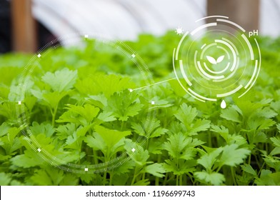 Agriculture management, Smart technology concept in coriander greenhouse, Future food