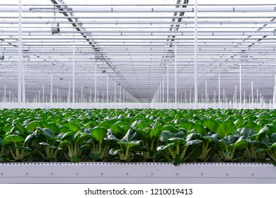 Agriculture in Netherlands, huge greenhouse with rows of growing chinese cabbage Bok choy, pak choi or pok choi on hyproponic