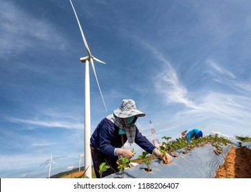 Agriculture plant growing strawberry in farm land and clean energy wind turbine