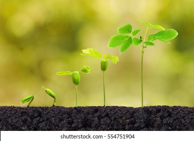 Agriculture. Plant seedling. Baby plants growing in germination sequence on fertile soil with natural green background