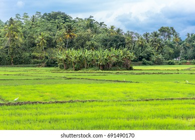 Agriculture and rice cultivation in the district Mirissa in the south of Sri Lanka. Farming and livestock is one of the major economic factor in this island country