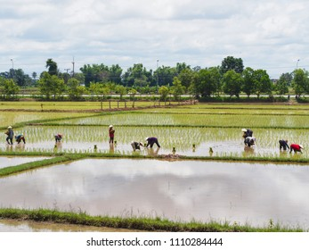 agriculture in rice field