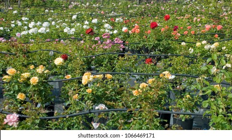 agriculture: rose plants cultivation, nursery, of different qualities, family, full spring bloom, red, yellow, pink, white flowers, irrigation system made from pipes to wet plants, spring, sun, Italy