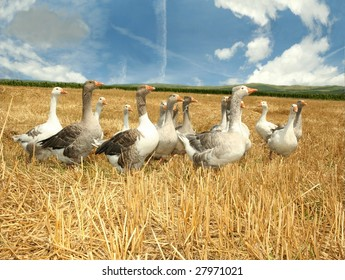 Agriculture scene - geese on corn field