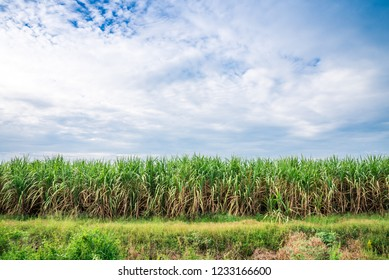 Agriculture sugarcane field farm with blue sky in sunny day background and copy space, Thailand. Sugar cane plant tree in countryside for food industry or renewable bioenergy power.