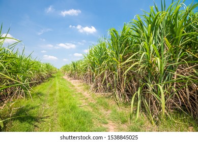 Agriculture sugarcane field farm with blue sky in sunny day background, Thailand. Sugar cane plant tree in countryside for food industry or renewable bioenergy power.