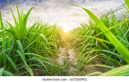 Agriculture, Sugarcane field at sunset. sugarcane is a grass of poaceae family. it taste sweet and good for health. Sugar cane plant tree in countryside for food industry or renewable bioenergy power.