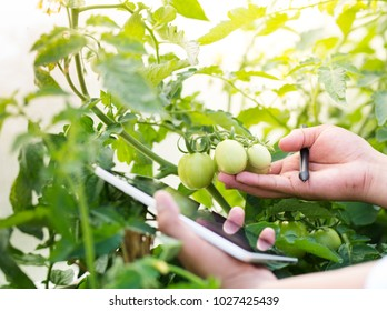 Agriculture technology for food plant research concept, Tomato checking for harvest