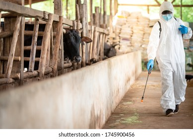Agriculture wears PPE protective clothing, spraying disinfectant and carrying bacteria in cow farms. Agro-industrial concept: kill the corona virus (Covid-19) Agro-industrial