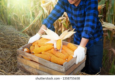 Agriculturist farmer hand holding the corn harvest in wooden crates,Corn raw materials for waiting to send factories to produce food for people and animals in general,food produce-image