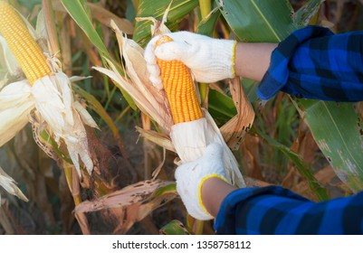 Agriculturist farmer hand holding the corn harvest ,Corn raw materials for waiting to send factories to produce food for people and animals in general,food produce-image