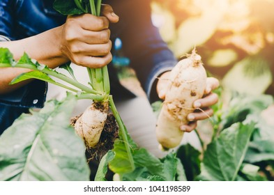 agriculturist Farmer Hands holding big Raw harvesting White Daikon fresh farm vegetables Autumn harvest and healthy organic food concept close up with selective focus