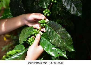Agriculturist hand holding and check plant disease of coffee tree.Fresh coffee beans growing in the farm.