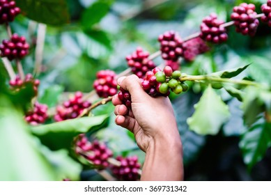 Agriculturist Hand picking red Arabica coffee beans on coffee tree