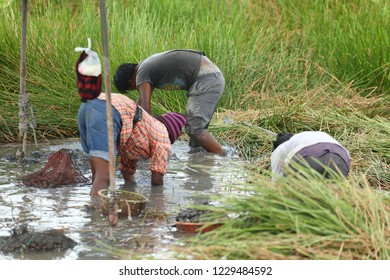 Agriculturist are harvesting water chestnut.