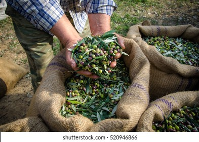 Agriculturist keeps in his hands some of the harvested fresh olives for olive oil production, over the sacks in a field in Crete, Greece